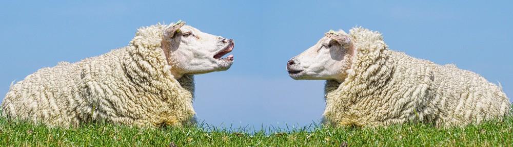 sheep-3557445_1920